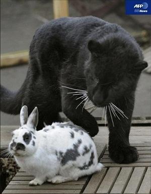 黒豹ってまーちゃん