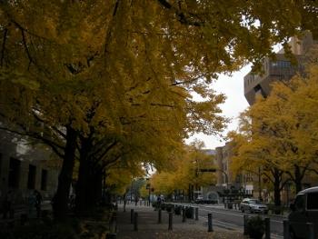 日本大通り銀杏並木2