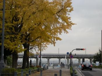 日本大通り銀杏並木3
