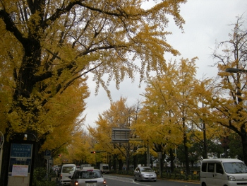 山下公園銀杏並木2