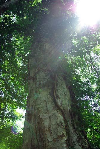 籾糠山 ダケカンバの巨木