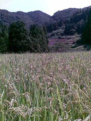山間地で米を育てている