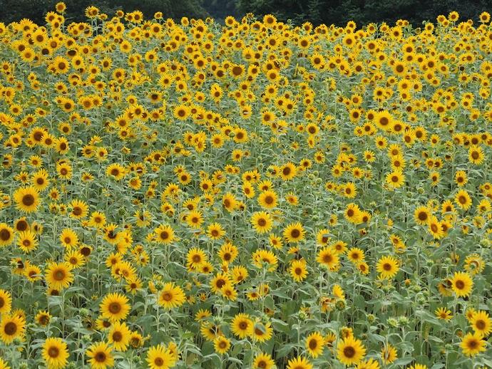 無数に咲くひまわりの花 金沢市太陽が丘にて