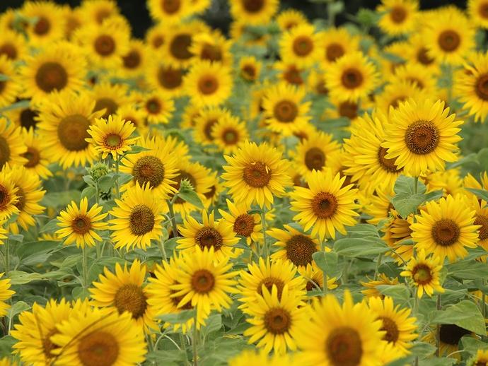 金沢太陽が丘・北陸大学のヒマワリ畑
