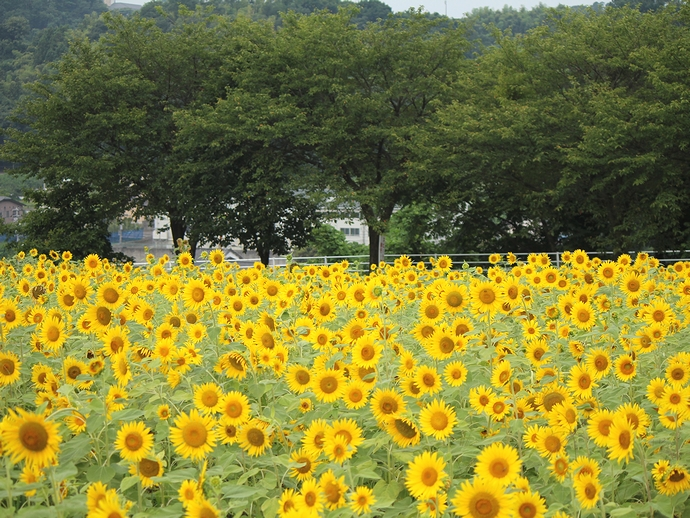金沢太陽が丘・北陸大学のひまわり畑と深緑の桜並木