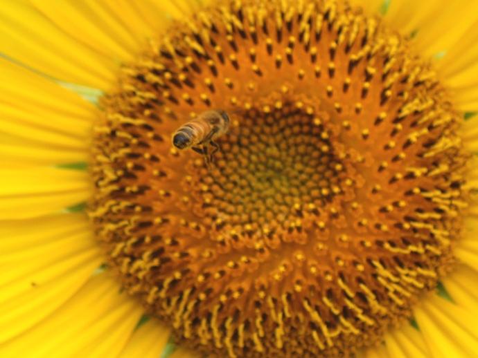 せっせと蜜を集めるミツバチたち 金沢市太陽が丘のひまわり畑にて