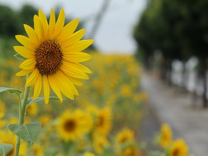 道端のひまわり畑 金沢市太陽が丘にて