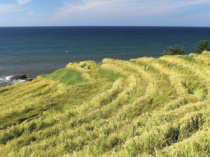 初秋 稲刈り直前の白米千枚田 黄金色に染まる
