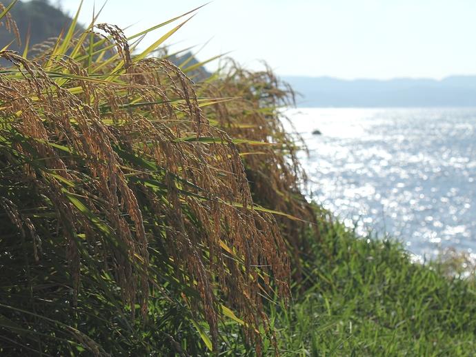 輝く海と稲穂 輪島の千枚田