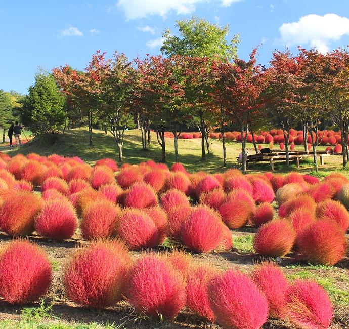 ひるがの高原コキアパーク コキアの紅葉