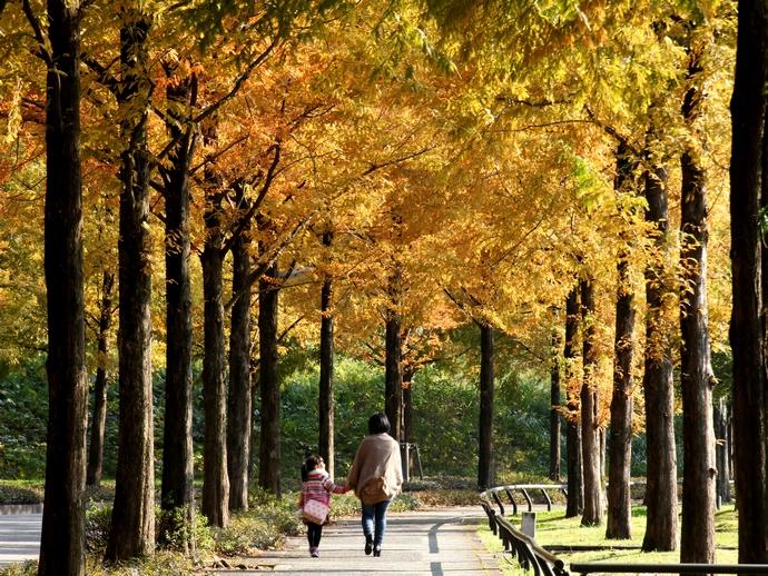 紅葉のメタセコイア並木を歩く親子
