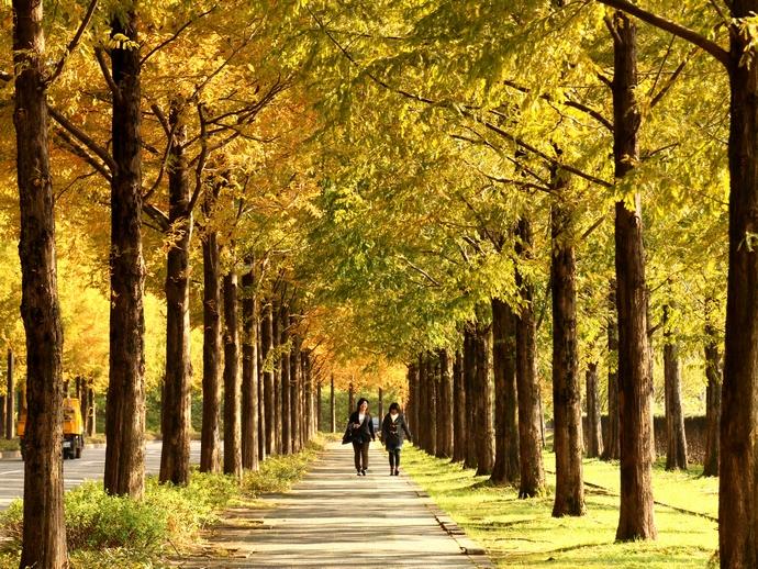 紅葉のメタセコイア並木を歩く女性たち