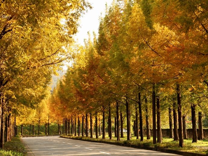 金沢市太陽が丘 秋のメタセ大通り
