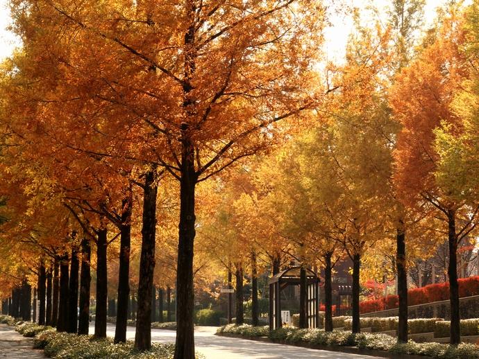 太陽が丘のメタセコイア並木紅葉