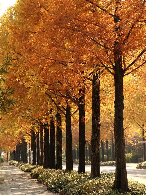 紅葉したメタセコイア並木道 金沢市太陽が丘にて