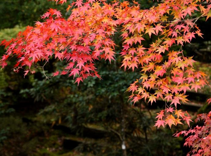 那谷寺庭園の色づくモミジ