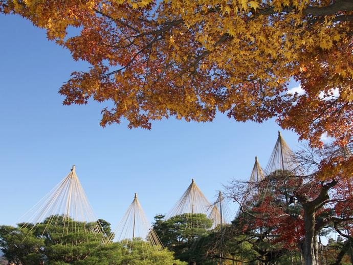 兼六園 雪吊りと紅葉のコラボレーション