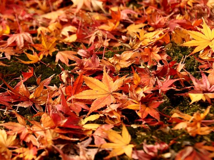 金沢市寺島蔵人邸 庭園を彩る散りモミジ