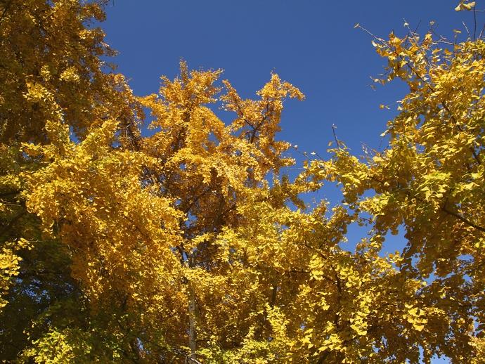 青空とイチョウ 祖父江イチョウ黄葉まつり