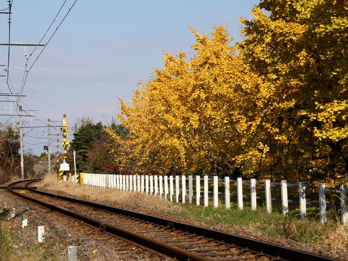 山崎駅周辺 名鉄電車とイチョウのシャッタースポット