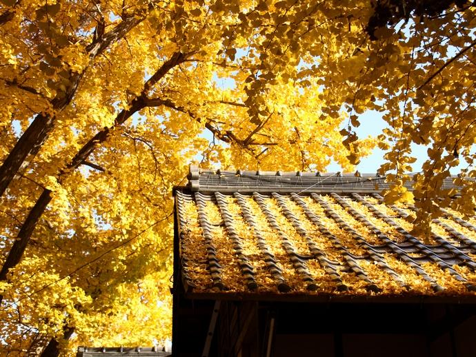 祖父江のイチョウ黄葉 屋根に落ちて