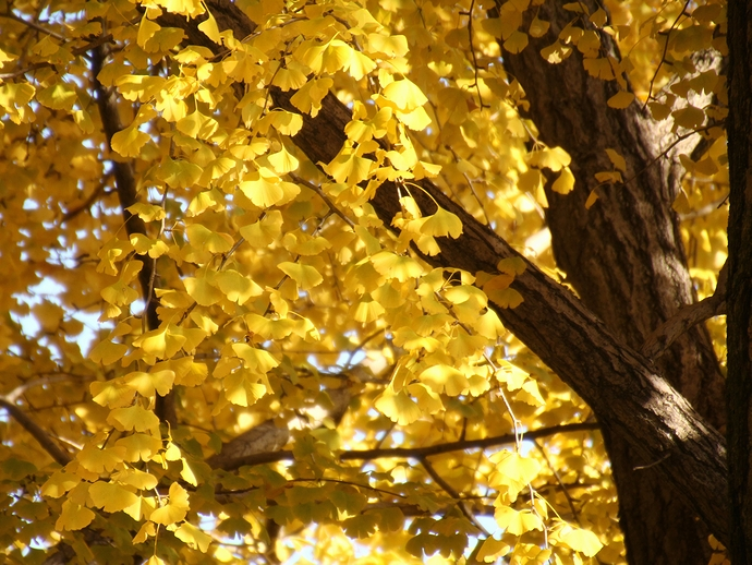 祖父江のイチョウ 黄色に染まる