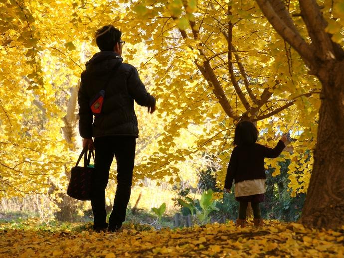 染まるイチョウの木の下で 祖父江イチョウ黄葉まつり