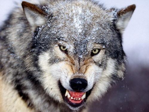 【画像30枚】野性的でかっこいい!狼の高画質画像まとめ