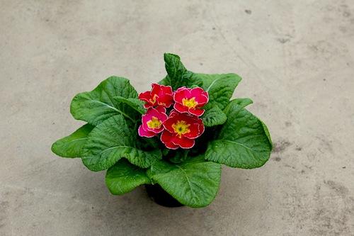 プリムラ ポリアンサ 生産 販売 肥後ポリアンサ Primula polyantha サクラソウ科 松原園芸