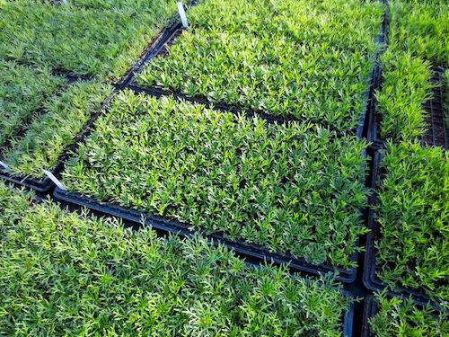 マーガレット 生産 販売 松原園芸 Argyranthemum frutescens