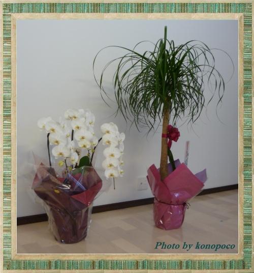 胡蝶蘭とポニーテール
