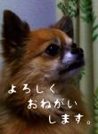 日本ブログランキングに参加しています。クリックしていただくと、犬ブログのチワワランキングにとびます。よろしくお願いします。