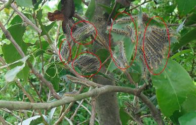 山茶花の毛虫