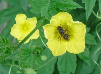 ミツバチが授粉