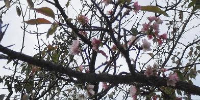 醍醐三宝院前の狂い桜