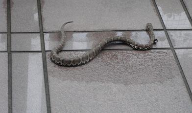 玄関のヘビ