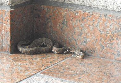 玄関内のヘビ
