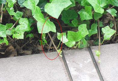 玄関植え込みのヘビ