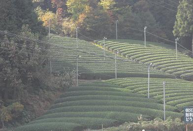 1 朝宮の茶畑