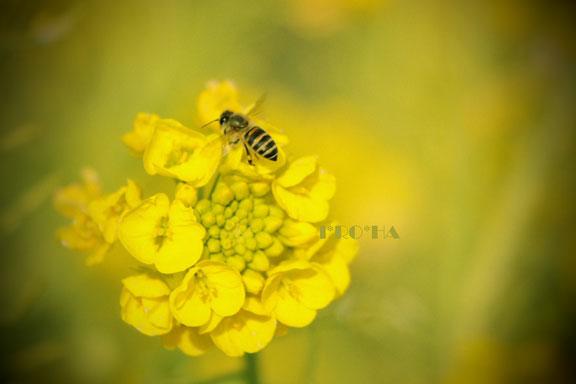 ミツバチ0328