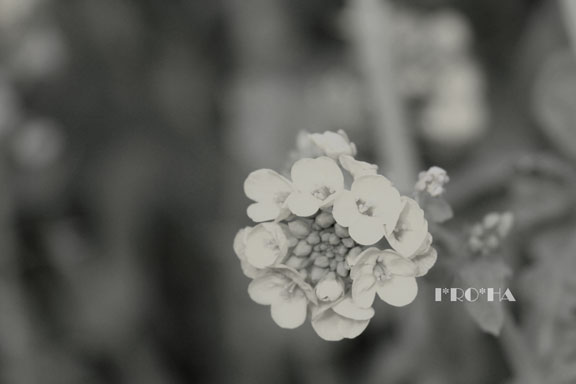 菜の花0328