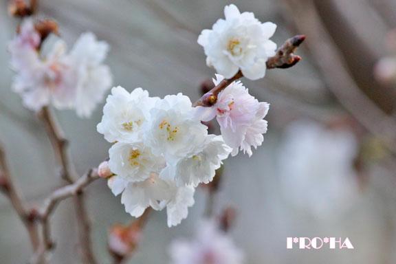 子福桜0401