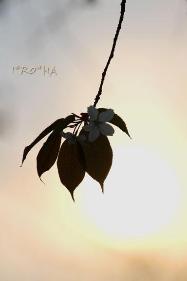 ヤマザクラ04193