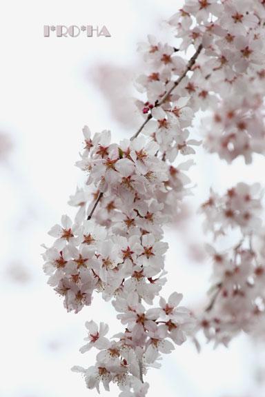 枝垂れ桜0428