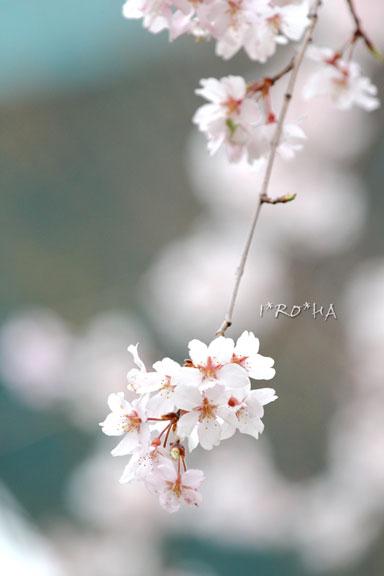 枝垂れ桜04281