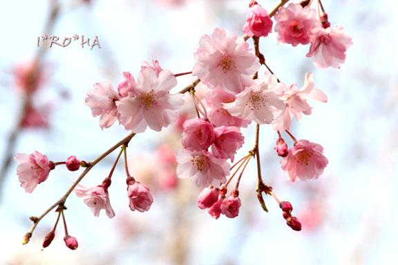 枝垂れ桜04282