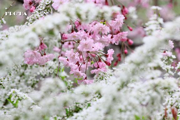 枝垂桜04284