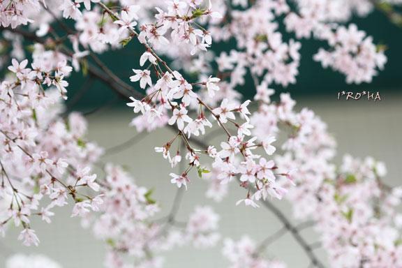 枝垂桜04285