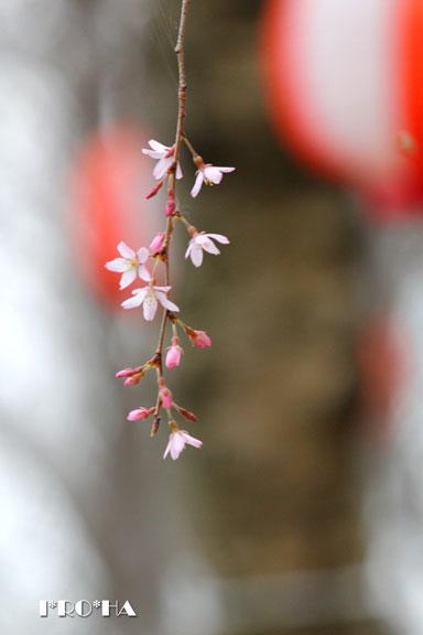 枝垂桜04286-