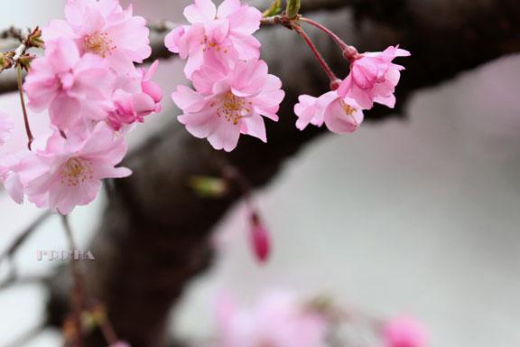 枝垂れ桜04287